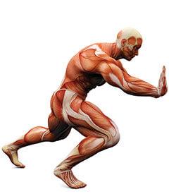 skeletal-and-muscle-benefits-of-ALA